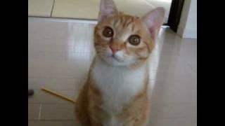 こむぎ猫 鳴き声かわいい 遊んでのおねだり Cat meow She'd like to play