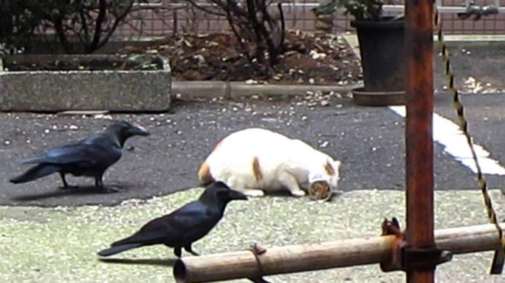 ねこvsカラス (cat vs crows)