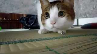 ねこ 猫 うちのねこ カワイイ仕草 ペット