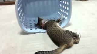 猫 ネコ ねこ! 超カワイイ動画集006 子猫