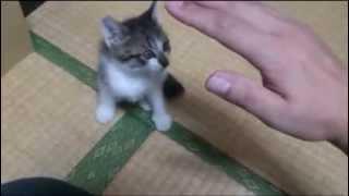 【ねこ】かわいい子猫の本気モード! Cute Kitten Maji