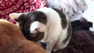 【猫が寝ぼけている様子は実にカワイイ❤】ボ~ッとしてたのら How Nora is half asleep is very cute