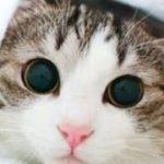 【猫 おもしろ】面白カワイイねこちゃん 2015 part7  kitten munchkin cat