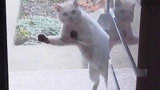 【ごめんくださ~い!☆笑える近所の白猫!】おもしろ猫動画♪ Cute funny Nearby white cat