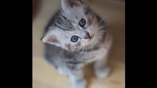 【猫 おもしろ】面白カワイイねこちゃん 2015 part5  kitten munchkin cat