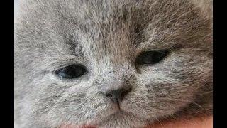 【猫 おもしろ】面白カワイイねこちゃん 2015 part9  kitten munchkin funny cat