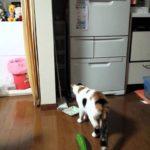 きゅうりにびっくりする猫
