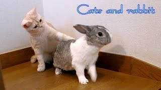 ネコとウサギの日常 - Everyday of cats and rabbit – 【2 Cats 1 Rabbit & Let's play hide-and-seek! 】