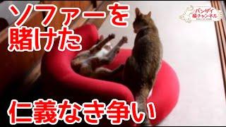 兄弟猫の仁義なき争い。お気に入りのソファーを守るための争い。Cat brothers quarrel.