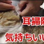 まったりからの耳掃除が気持ちいい猫。お耳がまっくろくろすけです。