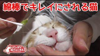 猫クリーニング!耳掃除、ハナクソ、歯磨きフルコースです。