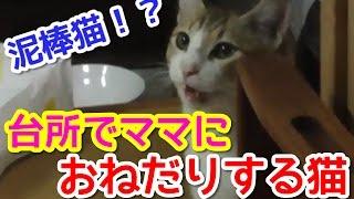 【猫おもしろかわいい】泥棒猫アイちゃん。食いしん坊です。
