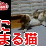 【猫おもしろかわいい】糸に絡まる猫。自ら引っかかりました。