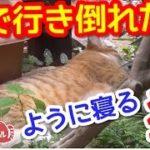 【猫おもしろかわいい】庭で行き倒れたようになっている猫。