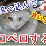 【猫おもしろかわいい】顔を突っ込んでペロペロする猫。パパのおつまみの残骸をいただきます!な動画。