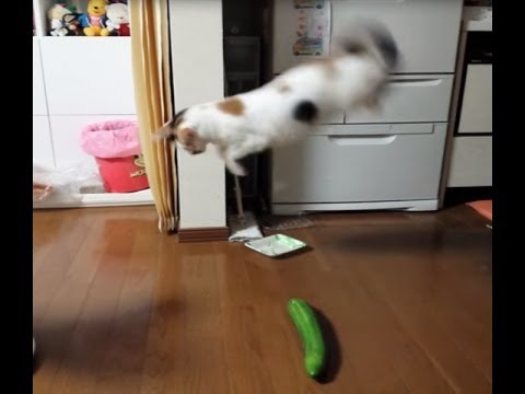 Pk Funny – 【猫おもしろ動画】猫がキュウリにびっくり?猫vsきゅうり動画まとめ【ジャンプ】