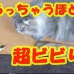 猫vsヘビのおもちゃ!いまだかつてないビビリでびっくりジャンプ!怖がる顔が真剣すぎておもしろすぎるw