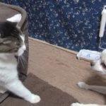 【猫とチワワのやり取りがオモシロい】The exchange of Nora and Koo is interesting.