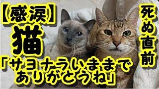 【感動 泣ける話】猫が死ぬ直前に心を許した人にだけ見せる行動が衝撃 / 猫「サヨナラいままでありがとうね」 猫の知られざる習性 ・招き猫ちゃんねる 里親 動画