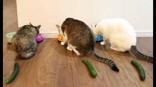 猫とうさぎにきゅうり置いてみた。- I put cucumbers behind cats and rabbits