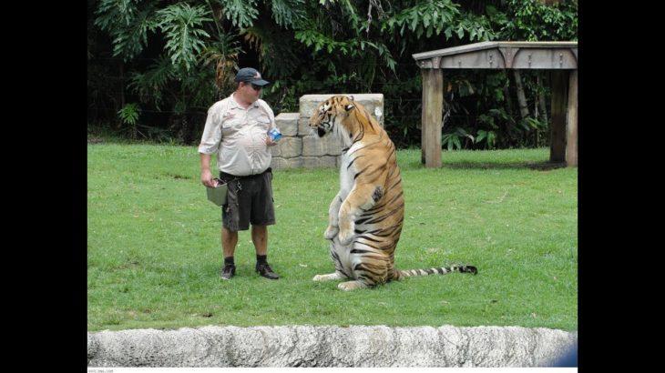 猫化したタイガー・自分は猫だと思っているタイガー・超かわいい