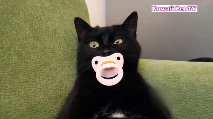 「絶対笑う」最高におもしろ猫のハプニング, 失敗動画集 #1