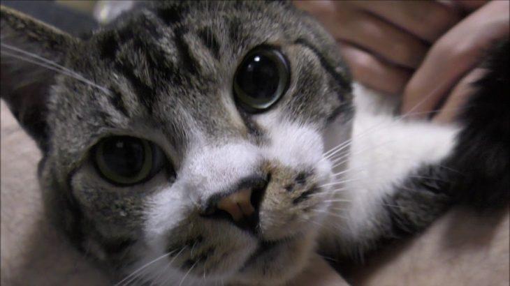 びっくりするようなポーズだけどゴキゲンな猫リキちゃん☆今日もゴロゴロ大爆音!☆のどを鳴らすねこ☆パパ大好き甘えん坊猫ちゃん【リキちゃんねる 猫動画】Cat videos キジトラ猫との暮らし