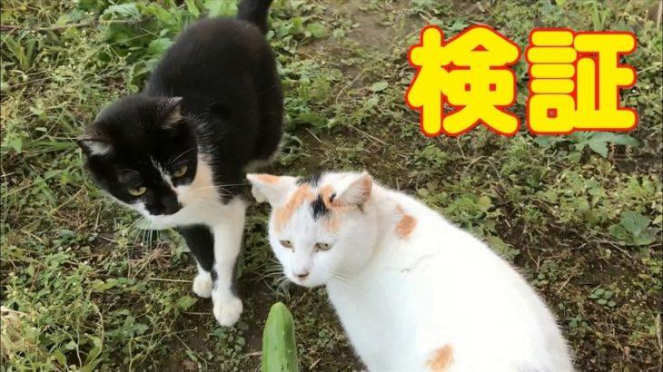 猫おもしろ 猫はきゅうりにびっくりする検証 超笑える 最高におもしろい猫動画 #11