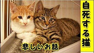 【感動 泣ける話】猫の自殺・あまりにも悲しいお話・猫の純粋さ情の深さ(猫 感動 泣ける話 保護 涙腺崩壊 感涙 動物 動画 里親)招き猫ちゃんねるル