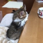 コップの中を覗き込もうとする子猫がかわいい