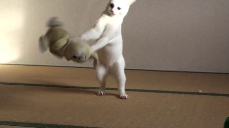 おもしろねこ動画 柔道をする白猫 Funny Animal Videos Japanese Judo Cat VS Stuffed Miss Bunny