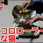 コロコロローラーが好きな猫。猫マッサージでご満悦です。The cat which is delighted by cat massage