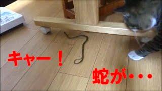 猫びっくり!キャー!自宅のキッチンに蛇が・・・!