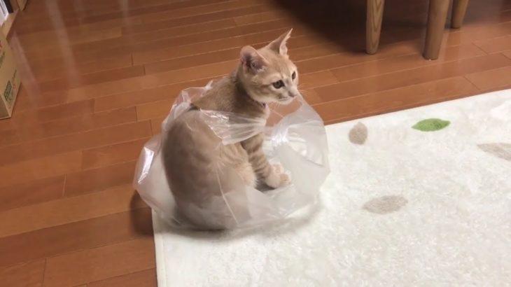 脱出に苦戦するねこがかわいい  The cat is struggling with escape