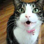おしゃべり猫 シャーコ