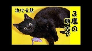 【猫 泣ける話】猫の習慣3度の頭突き・老猫と私の20年近く続けてきた『嬉しい時の老猫の行動』(猫 感動 泣ける話 保護 涙腺崩壊 感涙 動物 動画 里親・招き猫ちゃんねる