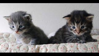 【猫 おもしろ】面白カワイイねこちゃん 2015 part6  kitten munchkin cat