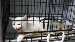 ❤脱走 必死すぎるネコ「出して!」白猫 里親会 カワイイ美猫イッパイ