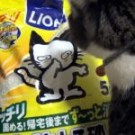 猫砂を鉱物系に変えたら、爆笑ハプニング😺【♀猫こむぎ&♂猫だいず】