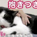 癒し!超かわいい…ママに抱きつき猫「ハッチ」〜お腹の上が大好きネコ!? Cats Likes Mom.《2匹の猫通信/Cats Life TV》