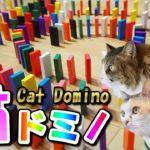 ドミノ倒しに挑戦する猫達!トラブル続出も結末は‥!? Cat Domino