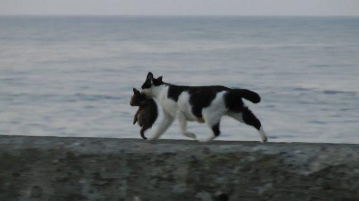 海辺を歩くネコの親子 Seaside kitten and mother cat (HD)