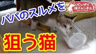 【猫おもしろ動画】なんかにおう?パパのスルメを狙う猫。空きケースに頭を突っ込み興味津々です。