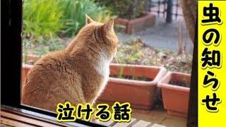 👀【猫 泣ける話】虫の知らせ・今でも忘れない、うりのすけが旅立った日のこと(猫 感動 泣ける話 保護 涙腺崩壊 感涙 動物 動画 里親)招き猫ちゃんねる
