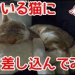 【爆睡猫】寝ている猫に枕を差し込んでみた。ピクリともしません。The gift was a pillow cat