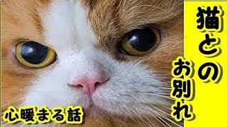 【猫 泣ける話】 猫とのお別れ 俺のこと自分の子供だと 思ってる猫が亡くなった-感動 動画 里親・招き猫ちゃんねる