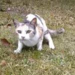 三毛猫が恐る恐るモフられに来てカワイイ