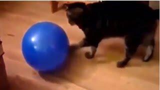 【猫びっくり】猫が風船でジャレてたら…!