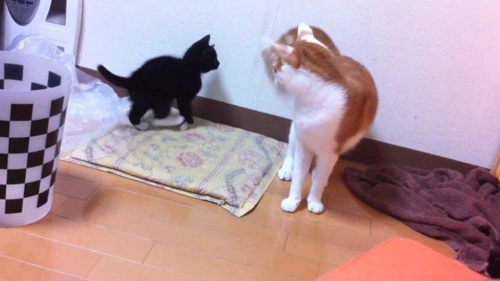 大人猫と遊ぶ子猫の思わぬハプニング映像