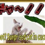 ねこ おもしろ ハプニング集 きゅうり 驚く 猫